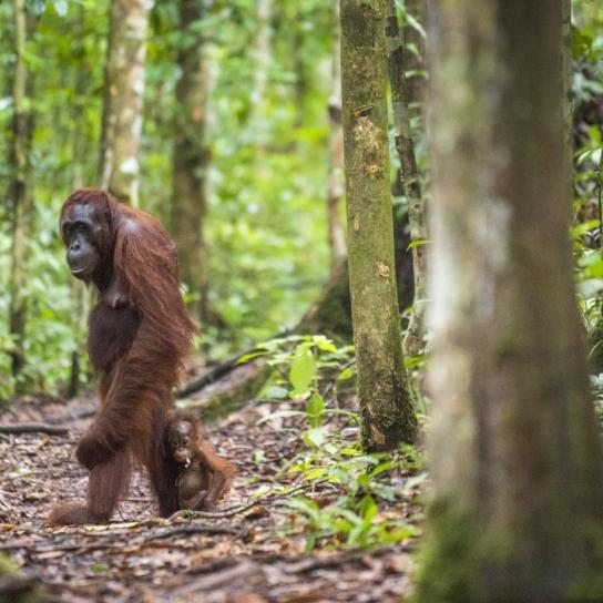 Female orangutan with a cub in a natural habitat, Borneo, Indonesia